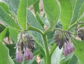 plant de consoude bocking 14