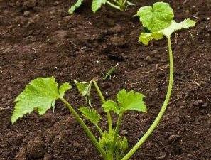 plant de courgette bio