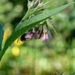 plants de consoude
