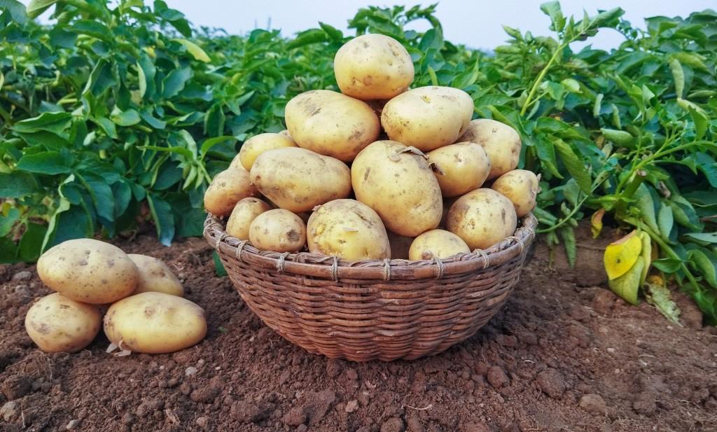 La potasse de la consoude favorise la pomme de terre